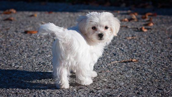 Tutto quello che devi sapere sui cani di taglia piccola