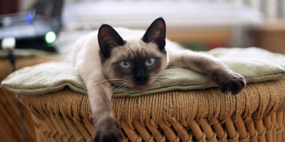 5 incredibili curiosità sul gatto siamese