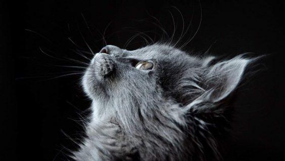 Come fare la toelettatura del gatto da soli