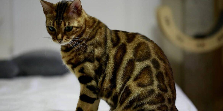 Gatto bengala: caratteristiche, cure e salute