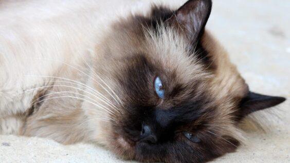 Gatto birmano: aspetto, personalità e salute