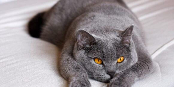 Gatto British Shorthair: aspetto, storia, caratteristiche e salute