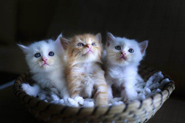 Razze di gatti: ecco le più apprezzate